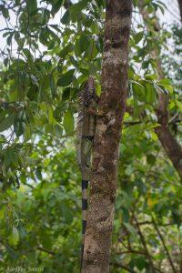 Iguana, Reptile