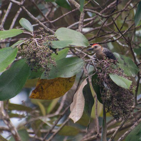 Melanerpes, Oiseau, rubricapillus-2