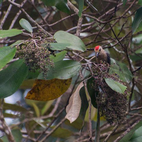 Melanerpes, Oiseau, rubricapillus