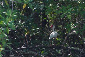 albus, Eudocinmus, Oiseau-2
