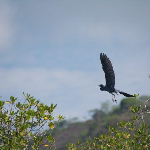 caerulea, Egretta, Oiseau-2