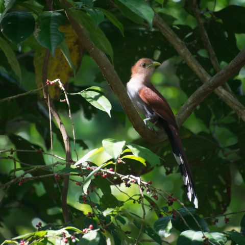 cayana, Oiseau, Piaya