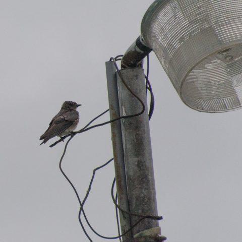 chalybea, Oiseau, Progne