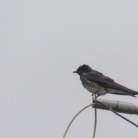 chalybea, Oiseau, Progne-2