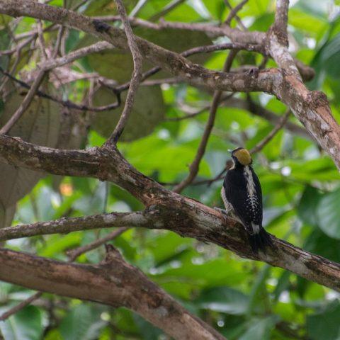 chrysauchen, Melanerpes, Oiseau