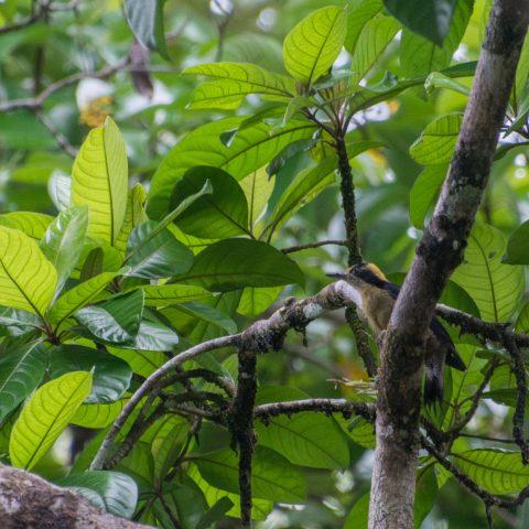 chrysauchen, Melanerpes, Oiseau-2
