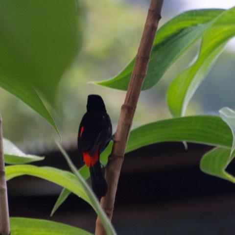 costaricensis, Oiseau, Ramphocelus-3