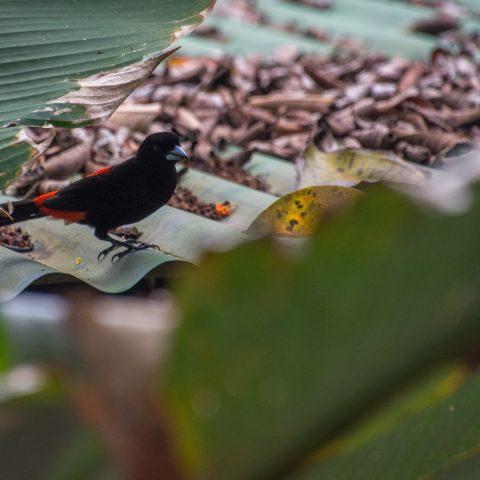 costaricensis, Oiseau, Ramphocelus-4