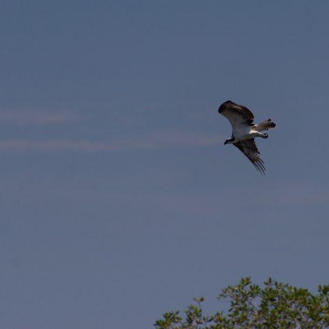 haliaetus, Oiseau, Pandion-2