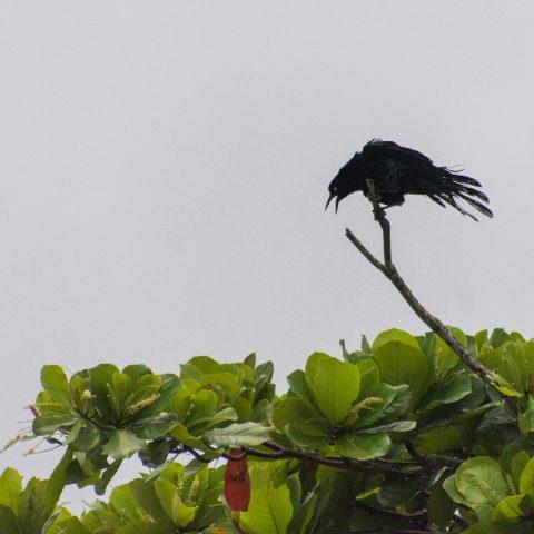 mexicanus, Oiseau, Quiscalus-2