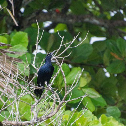 mexicanus, Oiseau, Quiscalus-3