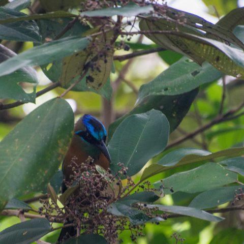motmota, Motmotus, Oiseau-2