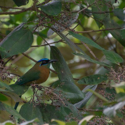motmota, Motmotus, Oiseau