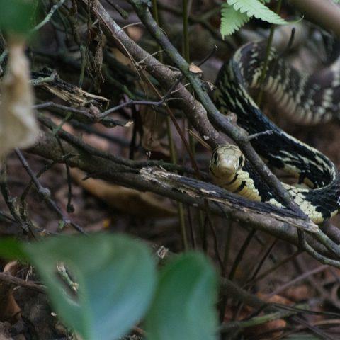 pullatus, Reptile, Spilotes-2