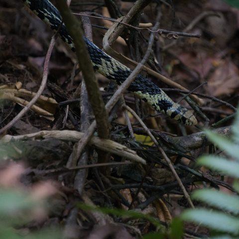 pullatus, Reptile, Spilotes-3