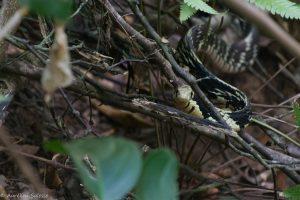 pullatus, Reptile, Spilotes