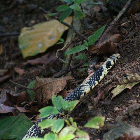 pullatus, Reptile, Spilotes-4