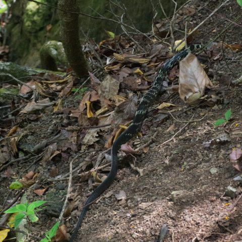 pullatus, Reptile, Spilotes-5