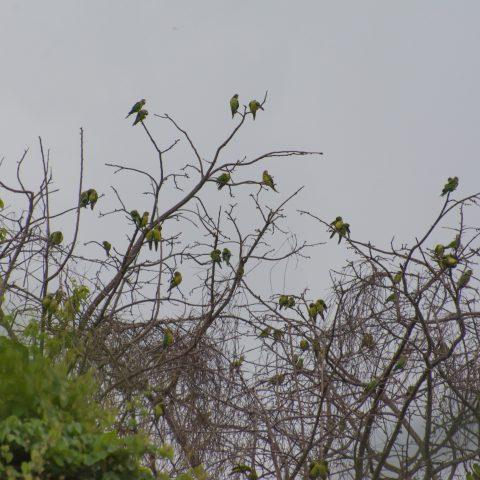 Aratinga, canicularis, Oiseau-2