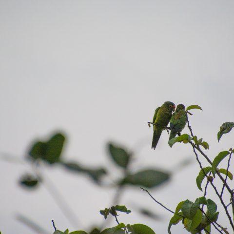 Aratinga, canicularis, Oiseau