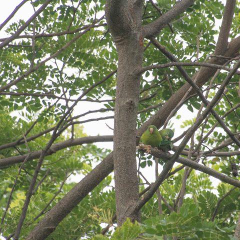 Brotogeris, jugularis, Oiseau-2