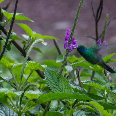 Colibri, Oiseau, thalassinus-2