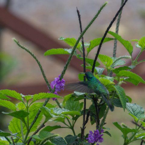 Colibri, Oiseau, thalassinus