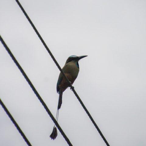 Eumomota, Oiseau, superciliosa