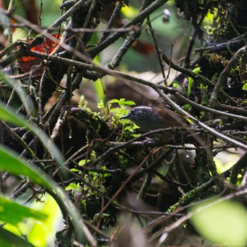 Henicorhina, leucophrys, Oiseau