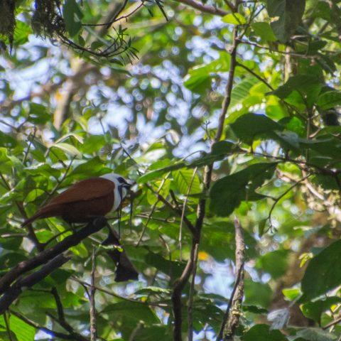 Oiseau, Procnias, tricarunculatus-2