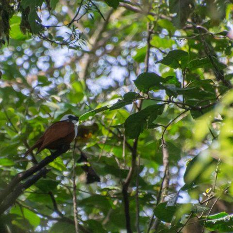 Oiseau, Procnias, tricarunculatus
