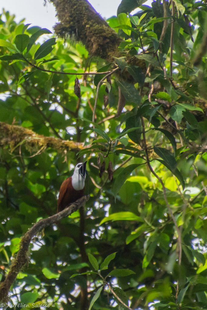 Oiseau, Procnias, tricarunculatus-6
