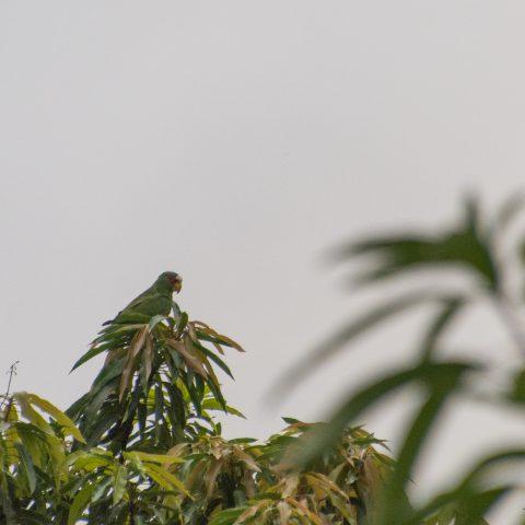 albifrons, amazona, Oiseau