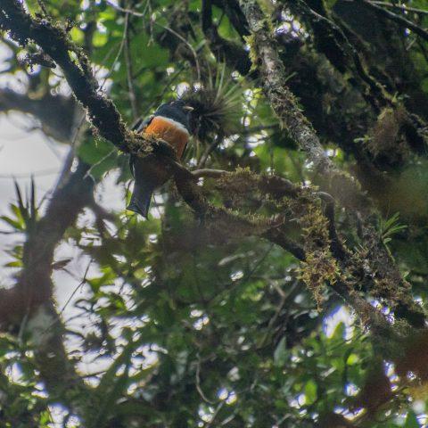 aurantiiventris, Oiseau, Trogon-2