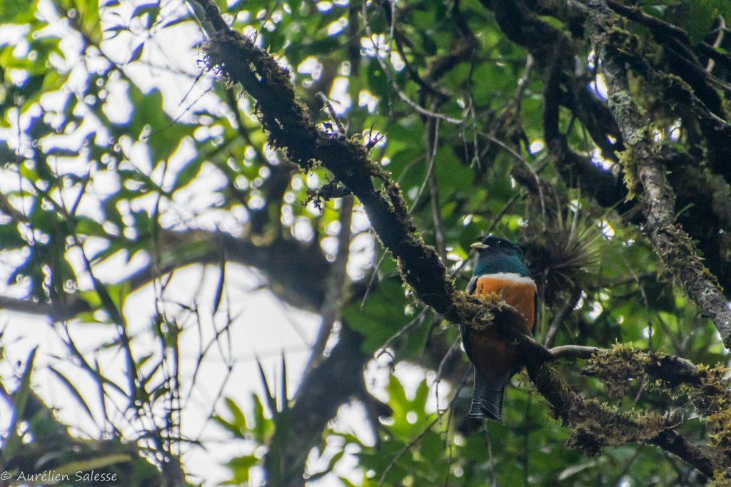 aurantiiventris, Oiseau, Trogon-4