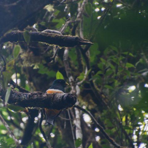 aurantiiventris, Oiseau, Trogon-5