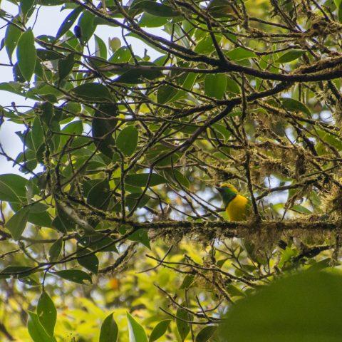 callophrys, Chlorophonia, Oiseau-2