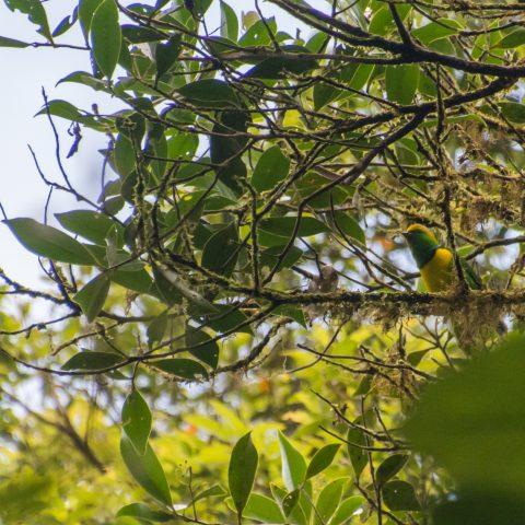callophrys, Chlorophonia, Oiseau-3