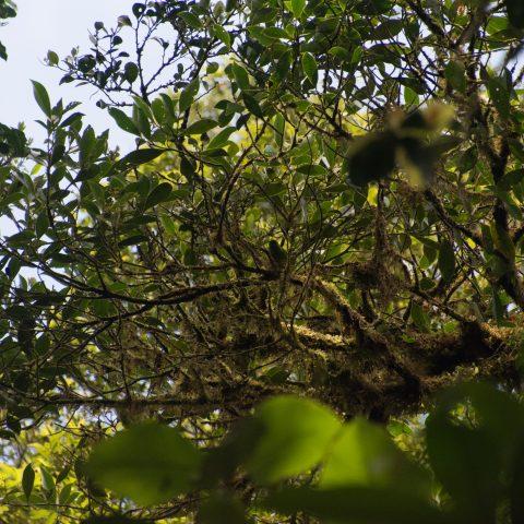 callophrys, Chlorophonia, Oiseau