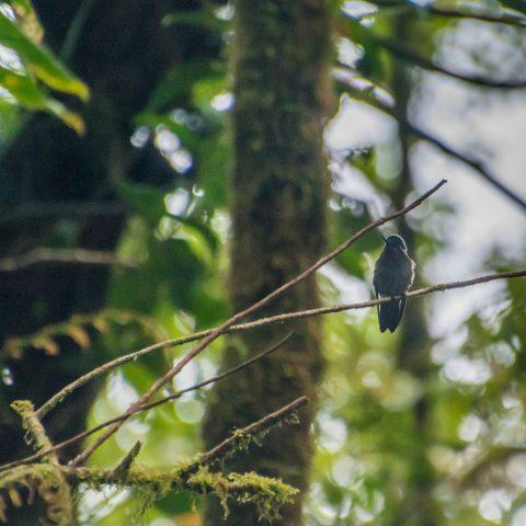 calolaemus, Lampornis, Oiseau-4