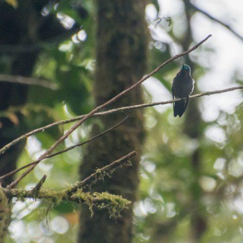 calolaemus, Lampornis, Oiseau-5