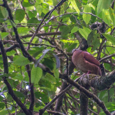 chiriquensis, Geotrygon, Oiseau