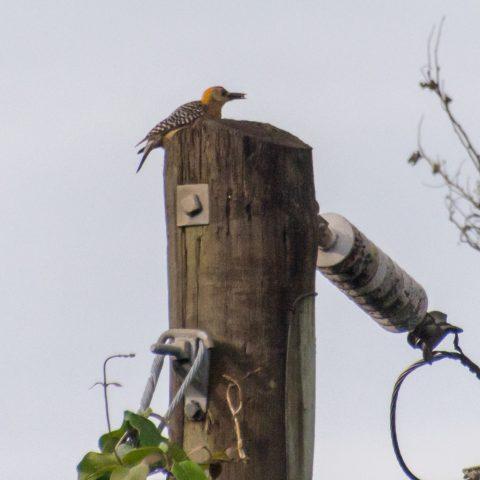 hoffmannii, Melanerpes, Oiseau