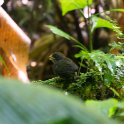melanops, Myadestes, Oiseau-2