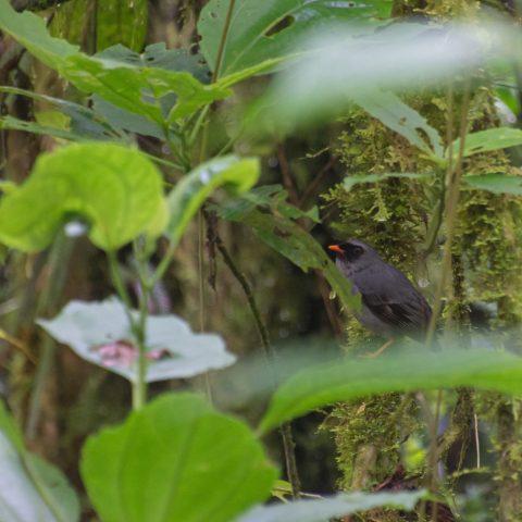 melanops, Myadestes, Oiseau-3