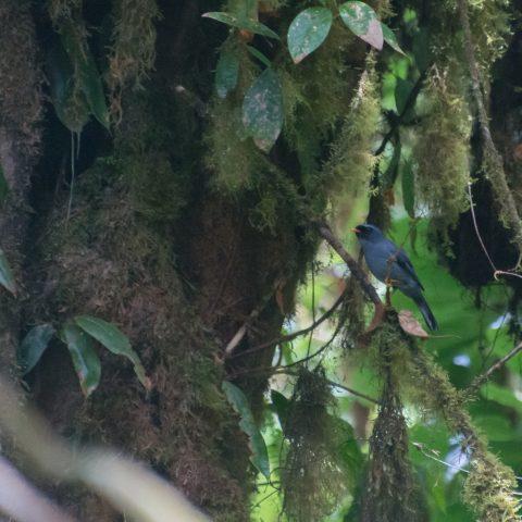 melanops, Myadestes, Oiseau-4