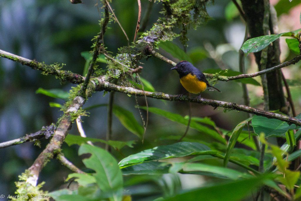 miniatus, Myioborus, Oiseau-2