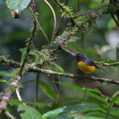 miniatus, Myioborus, Oiseau-3