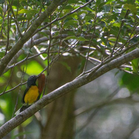 miniatus, Myioborus, Oiseau-4