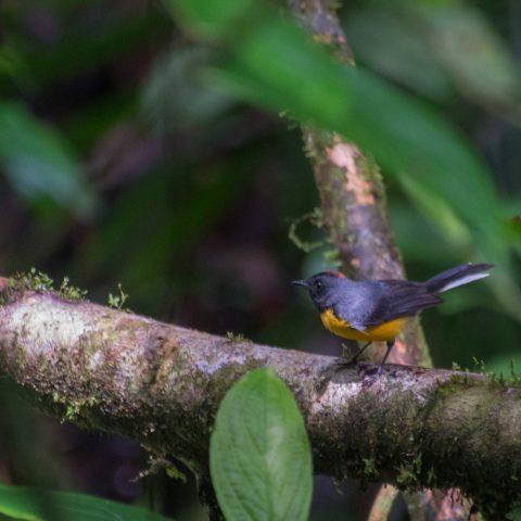 miniatus, Myioborus, Oiseau